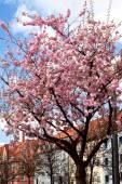 Sakura — Stockfoto