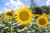 Field of sunflowers with bees — Stockfoto