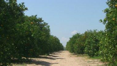 Oranges in Florida — Stock Video