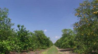 Orange grove in Central Florida — Stock Video