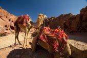 Camels in Petra, Jordan — Stock Photo
