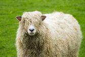 Sheep of the Lincolnshire Long Wool breed — Stock Photo