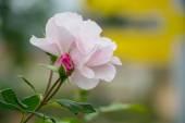 Pink rose — Стоковое фото
