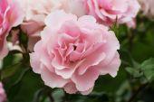 Pink rose — Stockfoto