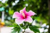 Beautiful Hibiscus flower — Stock Photo