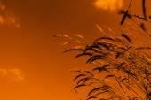 Pampas Grass and sky — Stock Photo