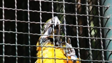 Colorful Caged Parrot — Stock Video