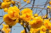 Yellow Silk Cotton flower — Stock Photo