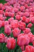 Beautiful tulips field in — Stock Photo