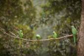 Green parrot bird on wood branch — Stock Photo