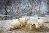 Sheeps in winter looking at the camera — Stock Photo
