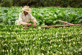 Tobacco farmers collect tobacco leaves — Stock Photo