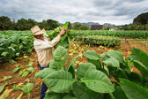 VINALES - FEBRUARY 20: Unknown man working on tobacco field on F — Stock Photo