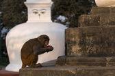 Monkey at Stupa in Swayambhunath Monkey temple in Kathmandu, Nepal — Stock Photo