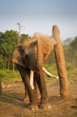 Elephant in chain playing with dust — Stock Photo