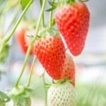 Fresh organic strawberries growing on the vine — Stock Photo #65216819