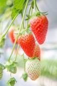 Fresh organic strawberries growing on the vine — Stock Photo