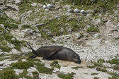 Seal in Kaikoura, New Zealand — Stock Photo