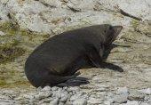 Seal in Kaikoura, New Zealand — Stock Photo