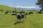 Grazing cows. New Zealand — Foto Stock