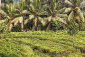 Fresh tea plantation and coconut palm tree — Stock Photo