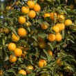 Ripe yellow plums on the tree. Fruit tree. Seasonal harvest. Ukraine. — Stock Photo #59882791
