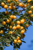 Ripe yellow plums on the tree. Fruit tree. Seasonal harvest. Ukraine. — Stock Photo
