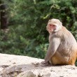 Macaque monkey in Mcleod Ganj, Dharamsala, India. — Stock Photo #69882277