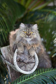 Adorably cute tabby Persian Ragdoll cat sitting relaxed on the tree in island Ko Wai, Thailand — Stock Photo