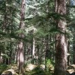 Beautiful pine forest in Manali, Himachal Pradesh, India — Stock Photo #70075365