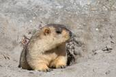 Funny marmot peeking out of a burrow in Ladakh, India — Stock Photo