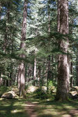 Beautiful pine forest in Manali, Himachal Pradesh, India  — 图库照片