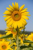 Field sunflowers, in the south of Ukraine — Stock Photo