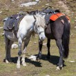 Two horses for tourists on the Rohtang Pass, which is on the road Manali - Leh. India, Himachal Pradesh — Stock Photo #71047863