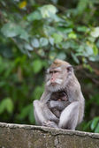 Monkey family at sacred monkey forest Ubud Bali Indonesia — Stock Photo