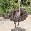 Beautiful portrait photo of big African ostrich in zoo — Stock Photo #71141637