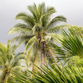 Coconut palm tree on a cloudy day, Thailand — Stock Photo