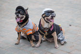 Small dogs in uniform. Pattaya, Thailand — Stock Photo