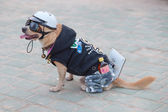 Small dog in uniform. Pattaya, Thailand — Stock Photo