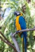 Blue and Yellow Macaw Parrot in Bali Bird Park,, Indonesia — Stock Photo