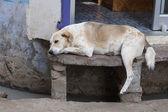 Homeless dog sleeping on the street , India — Stock Photo