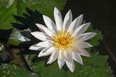Blossom white lotus flower — Stock Photo