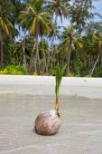 Coconut on the beach, Thailand . Close up — Stock Photo