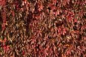 Red leaves over a wall — Stock Photo