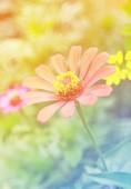 Närbild zinnia blomma i trädgården — Stockfoto