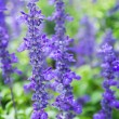 Close up fresh lavender flower in the garden — Stock Photo #60294773