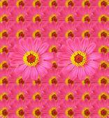 Taze Zinnia çiçeği arka plan — Stok fotoğraf