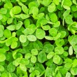 Green clover texture — Stock Photo #62536767