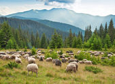 Sheeps on the meadow — Stock Photo
