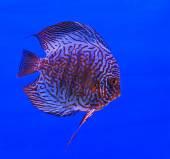 Ryby w akwarium szklane — Zdjęcie stockowe